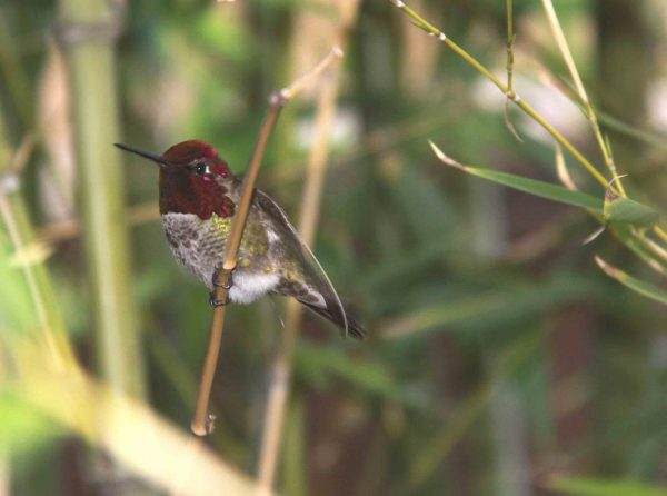Male Anna's Hummingbird Perched on Bamboo