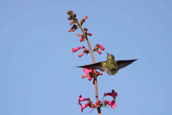 Female hummingbird approaching blossom in 2010