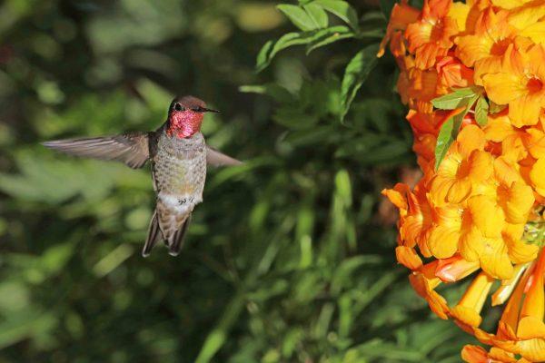 Anna's Hummingbird - Torrey Pines, 2016