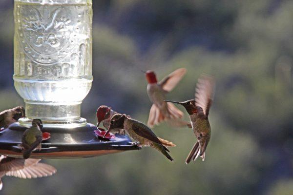 Hummingbirds enjoying nectar from the feeder